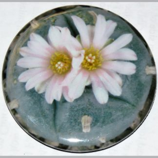 Round magnet featuring Peyote button in dual bloom.